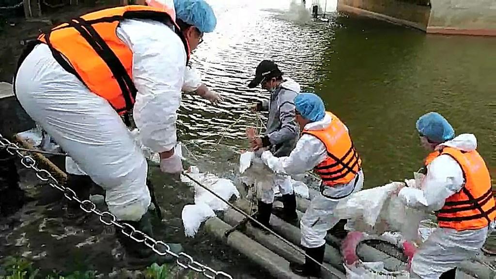 Birds at Chiayi university lake hit by bird flu being culled
